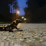 Amphibienwanderung im Herbst. Feuersalamander überquert eine Straße.