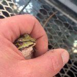 Geretteter Teichfrosch in der Hand