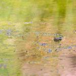 Teichfrosch im Zoogewässer