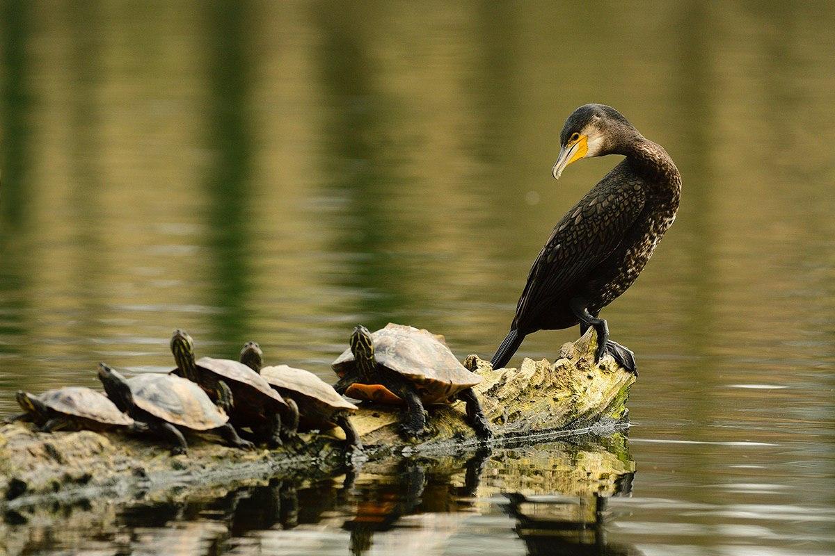 Kormoran und Schildkröten - Abtsküche