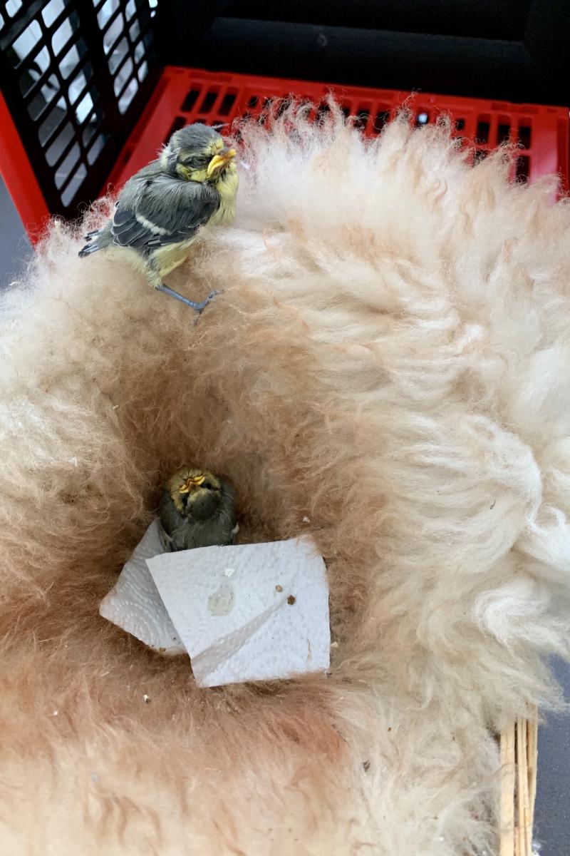Junge Blaumeisen bekommen erste Hilfe abseits des Nestes