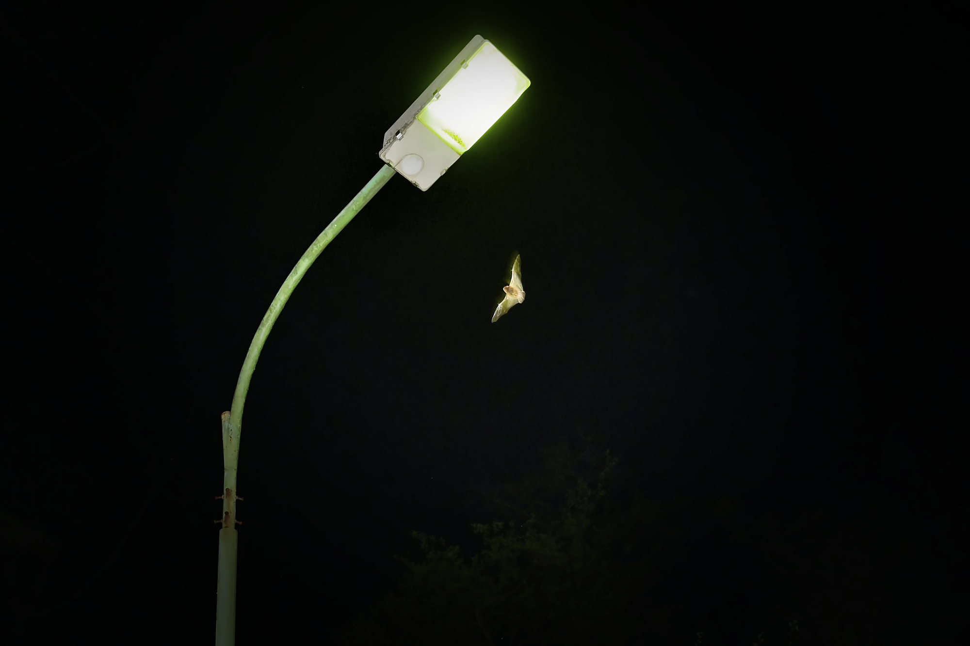 Fledermaus umkreist eine Laterne - © Peter Schütz
