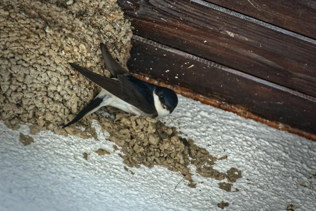 Mehlschwalbe an der Fassade in Essen-Überruhr © Alexander Krebs