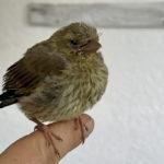 Junger Grünfink auf Finder