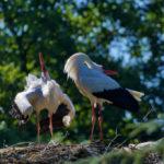 Klappernde Störche im Nest. © Alexander Krebs
