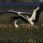Storch landet bei seinen Artgenossen im Feld. © Alexander Krebs