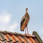 Adebar steht auf dem Dach. © Stefan Fabritz