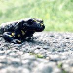 Salamander auf einer Landstraße in Essen. © Alexander Krebs
