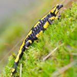 Salamander in seinem Lebensraum © Peter Schütz
