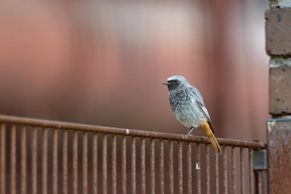 Hausrotschwanz auf einem Zaun auf der Zeche Zollverein - © Günter Zeumer